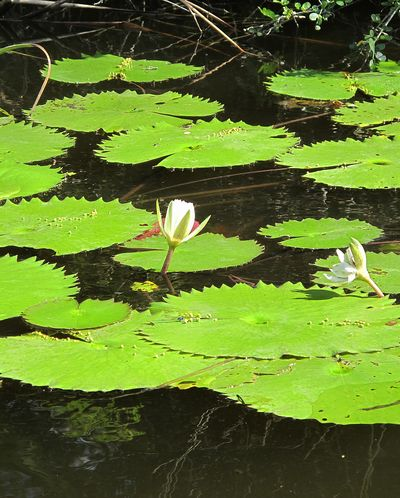 Lilly pads belize new river
